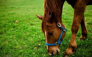 Основные болезни лошадей: инфекционные, незаразные, кожные и их симптомы