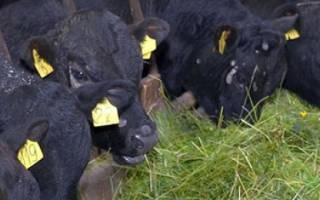 Выращивание бычков на мясо в домашних условиях: выгодно ли?