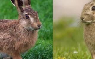 Отличия зайца от кролика и можно ли их скрещивать?