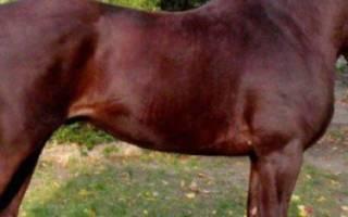 Великопольская порода лошадей: история, характеристика