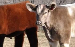 Плюшевая (пушистая) корова: характеристики