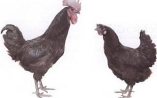 Чёрная порода кур Лакеданзи: описание, фото, характеристики