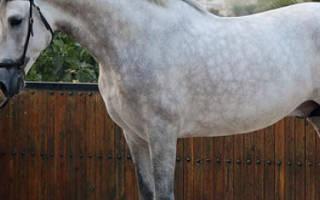 Испанская порода лошадей: описание