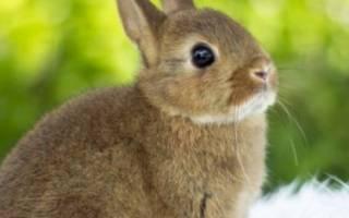 Кролик цветной карлик: описание породы