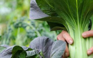 Китайская капуста Пак-чой: выращивание и уход