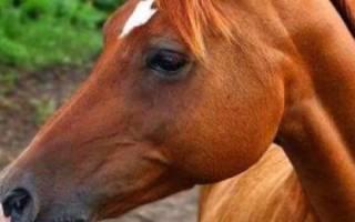 Чистокровная арабская порода лошадей: история, характеристика, достоинства, использование скакунов
