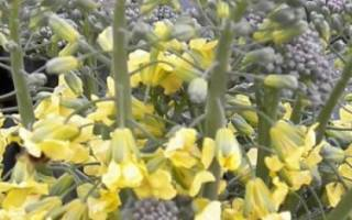 Почему цветет белокочанная капуста?