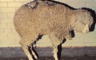 Овцы: болезни инфекционные, неинфекционные