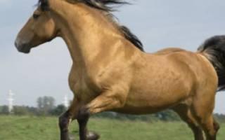Упряжные породы лошадей, классификация, обзор с описанием