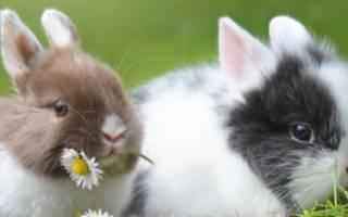 Можно ли давать кроликам ромашку полевую?