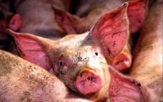 Инфекционные болезни свиней: диагностика и лечение