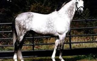 Ольденбургская лошадь: характеристики,история и особенности породы