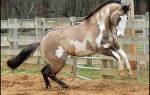 Каурая масть лошади: какого цвета лошадь каурой масти?