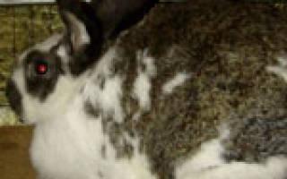 Сколько длится беременность у кроликов?