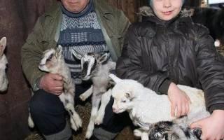 Содержание коз: выбор породы, содержание, уход, кормление