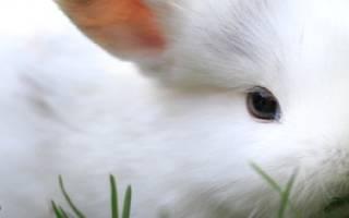Можно ли кроликам давать полынь?