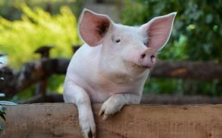 Кормление свиней: принципы, технологии и запрещенные продукты