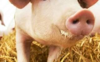 Выращивание поросят и свиней в домашних условиях и правильный уход за ними