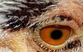 Как бороться с блохами у кур: обработка птицы