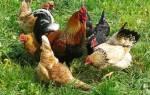 Как размножаются птицы на ферме: спаривание и высиживание яиц