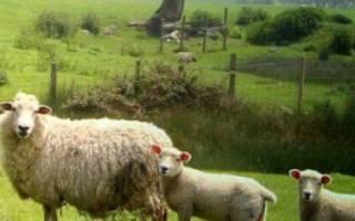 Порода овец Ромни-марш: описание и характеристика
