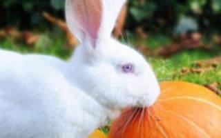 Можно давать кроликам тыкву и кабачок?