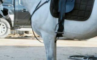 Липицианская порода лошадей: происхождение, описание, сферы использования