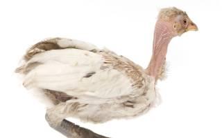 Пухопероеды у кур: симптомы, лечение и препараты