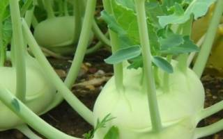 Какую капусту можно посадить в июле?