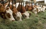 Откорм бычков на мясо в домашних условиях