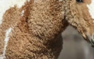 Забайкальская порода лошадей: описание, использование