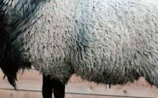 Романовская порода овец: характеристики, содержание и разведение