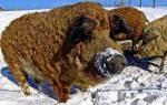 Порода свиней Гемпшир: описание и характеристики