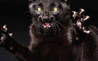 Бешенство у кошек: симптомы, опасность для людей, инкубационный период, вакцина