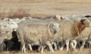 Бурятские овцы породы Буубэй: описание и характеристика