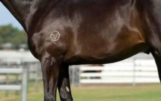 Чистокровная верховая лошадь — экстерьер, характер, уход