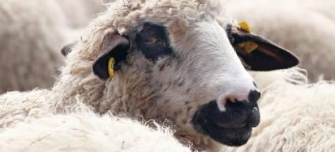Дагестанская горная порода овец: описание и характеристики