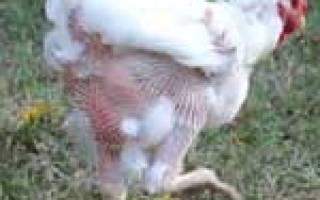 Линька у кур: причины, их устранение, методы принудительной линьки