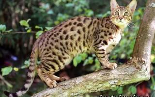 Серенгети порода кошек: фото, цена, описание животного, отзывы