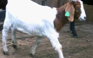 Бурские козы — описание породы, характеристики продуктивности