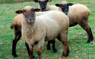 Горьковская порода овец: описание и характеристика