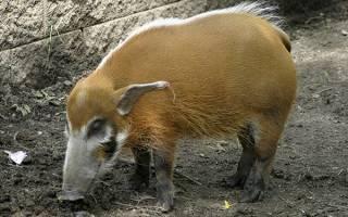 Кистеухая свинья: описание и характеристики