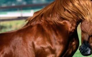 Англо-арабская лошадь: характеристика, происхождение породы