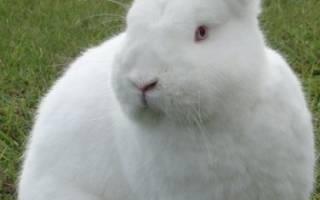 Бройлерные породы кроликов: обзор и характеристики