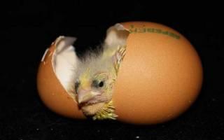 Развитие цыпленка в яйце по дням: подробное описание процесса