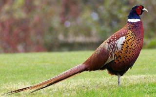 Мясо фазана: полезные свойства, стоимость, способы приготовления