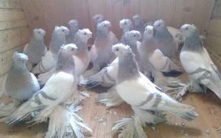 Узбекские голуби — виды голубей, экстерьер, особенности разведения
