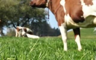 Лучшие молочные породы коров: обзор и характеристики
