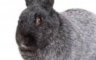 Кролики Полтавское серебро: описание, характеристика, разведение и содержание породы