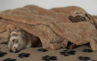 Сколько спят хорьки: как живут хорьки в домашних условиях
